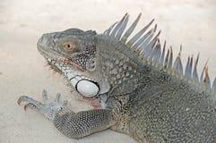 Iguana at the Beach. An iguana lizard on the beach Stock Photo