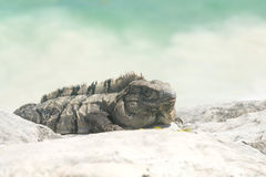 Iguana on beach. Big iguana on caribbean tropical beach Royalty Free Stock Photography