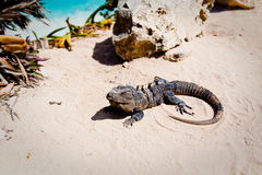Iguana on the beach Royalty Free Stock Images