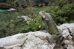 Iguana at the beach in Curacao. Spotted a iguana with another one in the back in the tree on a beach in Curacao Stock Photo