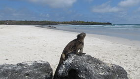 Iguana on a beach of Galapagos Islands. Iguana on a beach in Galapagos Islands, Ecuador Royalty Free Stock Photo