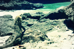 Iguana on the beach Stock Photos