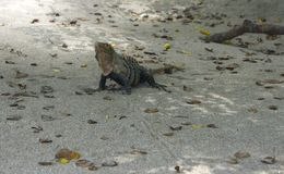 Iguana from Manuel Antonio National Park stock photo