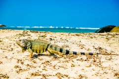 Iguana on beach in park national Tayrona - Colombia. View on Iguana on beach in park national Tayrona - Colombia Stock Photography