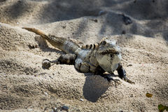 Iguana On Beach - Ruins of Tulum Cozumel Royalty Free Stock Photo