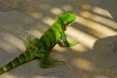 An iguana at a beach in the windward islands Stock Photo
