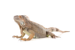 Iguana. Beautiful Iguana isolated in a white background Stock Photo