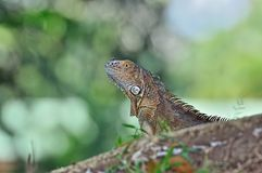 Iguana. A beautiful male iguana in Tortuguero National Park , Costa Rica Royalty Free Stock Image