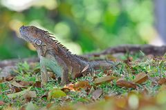 Iguana. A beautiful male iguana in Tortuguero National Park , Costa Rica royalty free stock photo