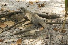 Iguana Belice Imagenes de archivo