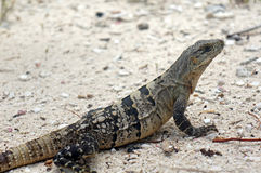 Iguana of Belize. Close up of an Iguana on the beach in Belize stock photo