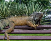 Iguana On A Bench #2 Royalty Free Stock Images