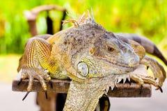 Iguana besar Imagen de archivo libre de regalías