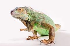 iguana biel Fotografia Royalty Free