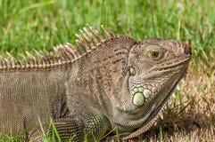 Iguana 3. A big Iguana on the garden grass Royalty Free Stock Image