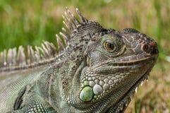Iguana 2 Stock Photos