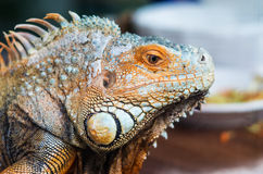 Iguana, big lizard, head. Close-up of iguana, huge lizard Stock Image