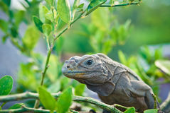 Iguana. A big iguana on the tree Royalty Free Stock Photo