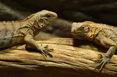 Iguana black Stock Photos