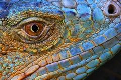Iguana blu Fotografia Stock Libera da Diritti