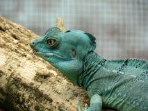 Iguana blu dell'iguana su un ramo Fotografia Stock Libera da Diritti