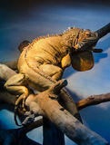 Iguana in blue terrarium light Stock Images