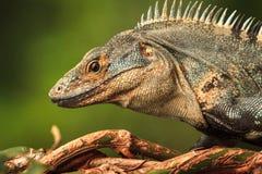 Iguana bonita em Manuel Antonio National Park Fotografia de Stock Royalty Free