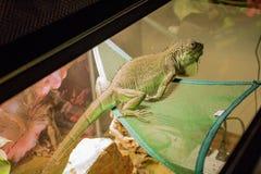 Iguana bonita nomeada Azul imagens de stock