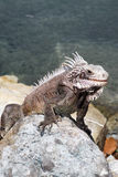 Iguana bonita Imagem de Stock Royalty Free