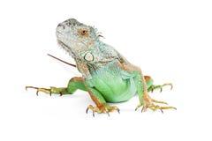 Iguana bonito no branco que olha acima Foto de Stock
