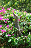 Iguana on a bougainvillea shrub Stock Photography