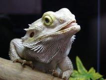 Iguana branca fotografia de stock royalty free