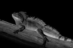 Iguana. On a branch, black and white royalty free stock photos