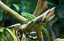 Iguana on a branch Royalty Free Stock Photos
