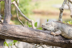 Iguana on the branch. Royalty Free Stock Photography