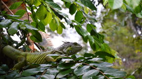 Iguana on the branch Royalty Free Stock Images