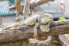 Iguana on the branch. Stock Photography