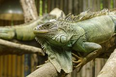 Iguana on the branches.iguana is a resident of Central and South America. The green iguana is a large green lizard with a spike-like spine on the middle of the royalty free stock photography