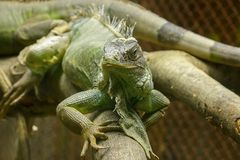 Iguana on the branches.iguana is a resident of Central and South America. The green iguana is a large green lizard with a spike-like spine on the middle of the stock photos