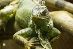 Iguana on the branches.iguana is a resident of Central and South America. The green iguana is a large green lizard with a spike-like spine on the middle of the royalty free stock image