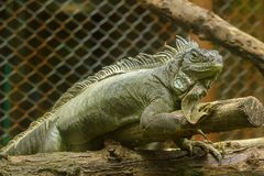 Iguana on the branches.iguana is a resident of Central and South America. The green iguana is a large green lizard with a spike-like spine on the middle of the stock photography