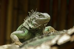 Iguana on the branches.iguana is a resident of Central and South America. The green iguana is a large green lizard with a spike-like spine on the middle of the stock images