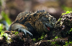 Iguana  Breakfast. The Marine Iguana (Amblyrhynchus cristatus) is an iguana found only on the Galapagos Islands that has the ability, unique among modern Stock Photo