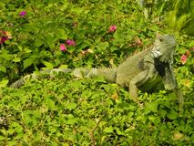 Iguana on a bush Royalty Free Stock Photography