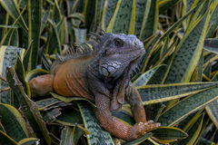 Iguana In A Bush Stock Images