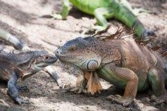 Iguana buziak Fotografia Stock