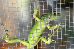 Iguana in the cage Royalty Free Stock Photos