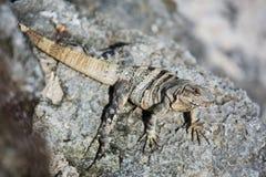Iguana in Cancun. Beautiful Iguana on the rocks in Cancun Royalty Free Stock Photos