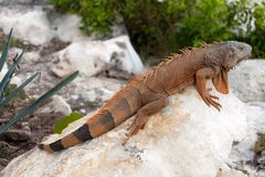 Iguana in Cancun, Mexico Stock Photography
