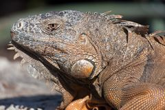 Iguana in Cancun, Mexico Royalty Free Stock Photo